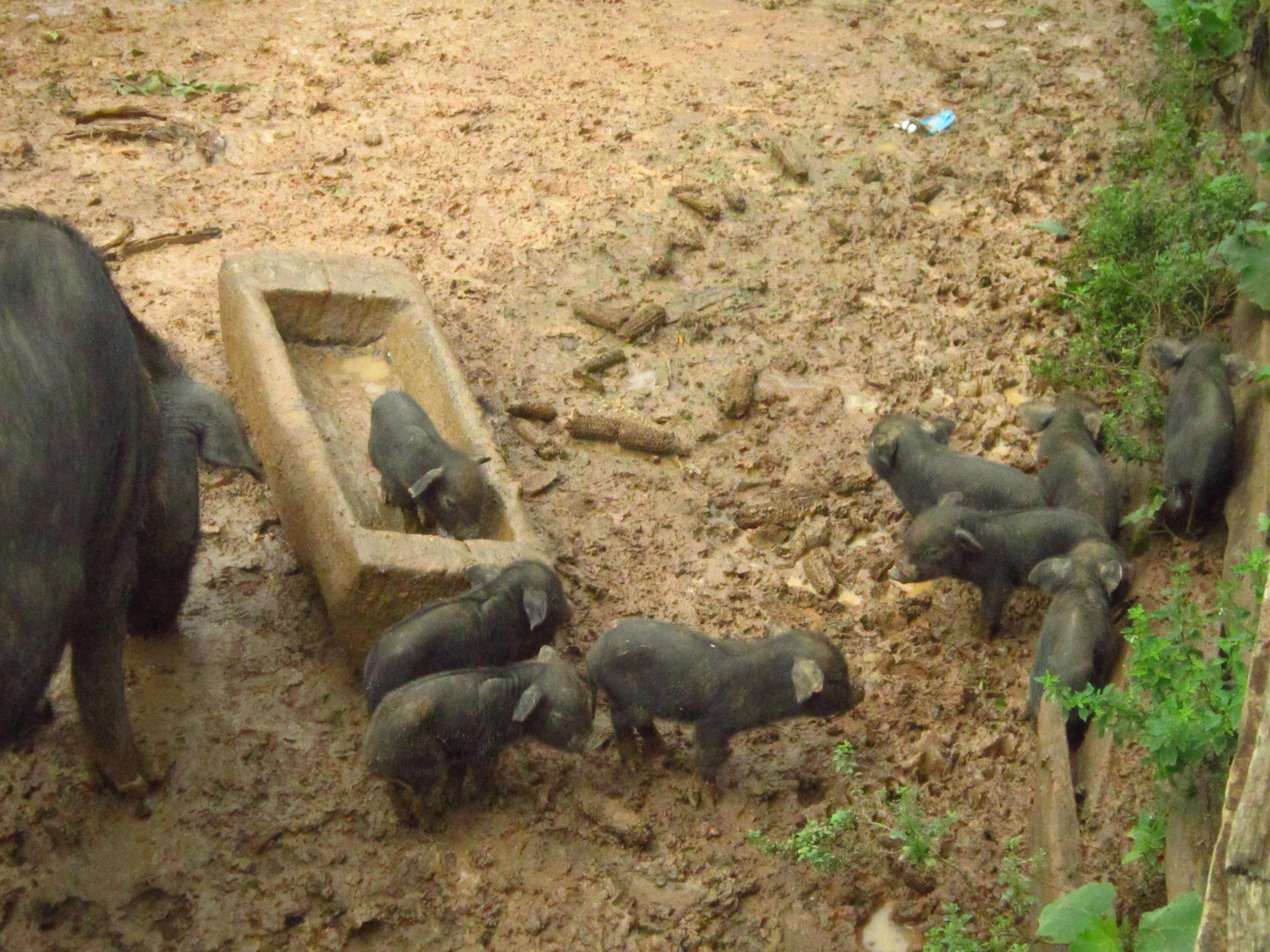 Pia Thailand farm pigs